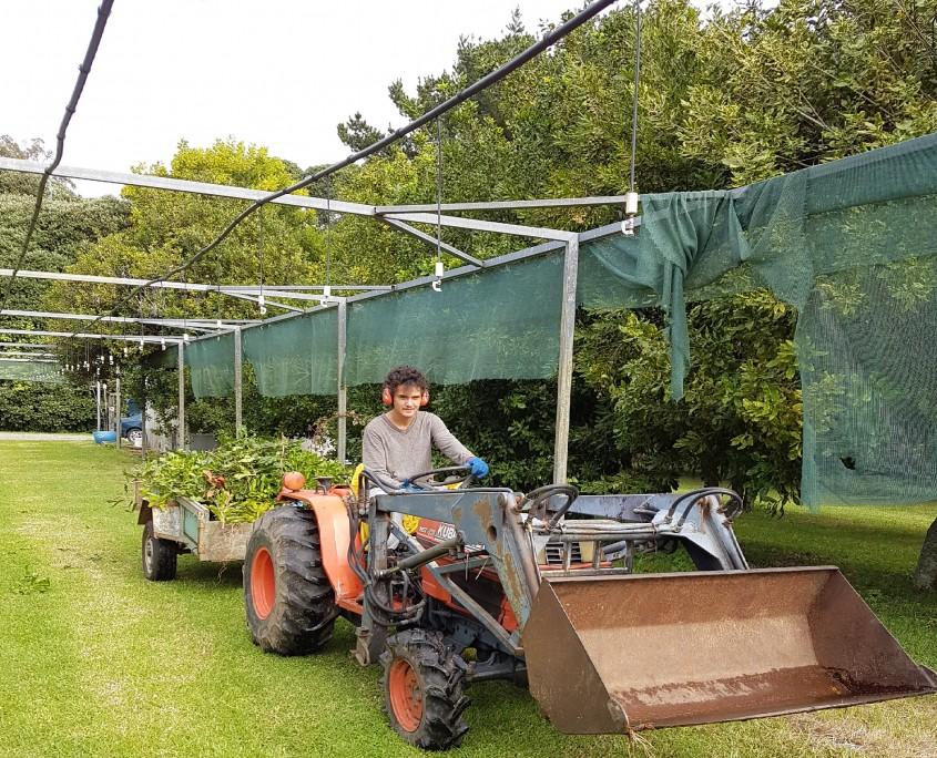 Harvesting Torere Macadamias