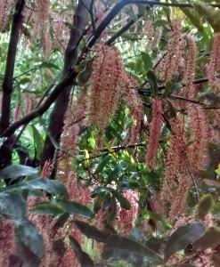 TMac 1 in blossom Torere Macadamias