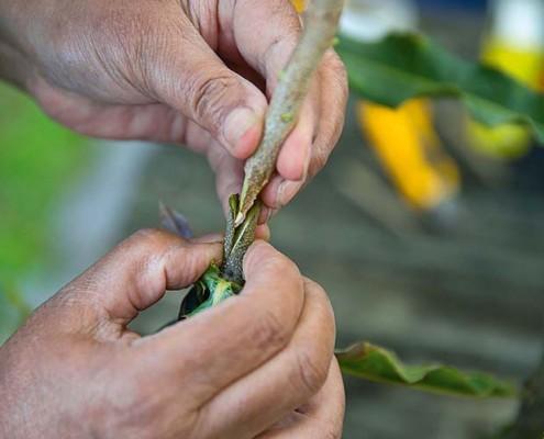 Grafted Macadamia Trees - Torere Macadamias