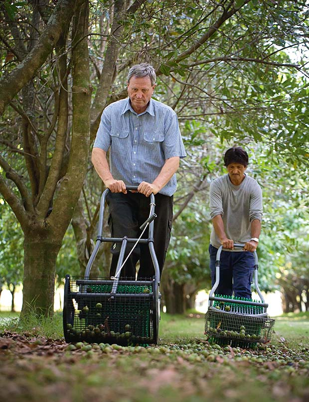 Harvesting Macadamia nuts - Torere Macadamias